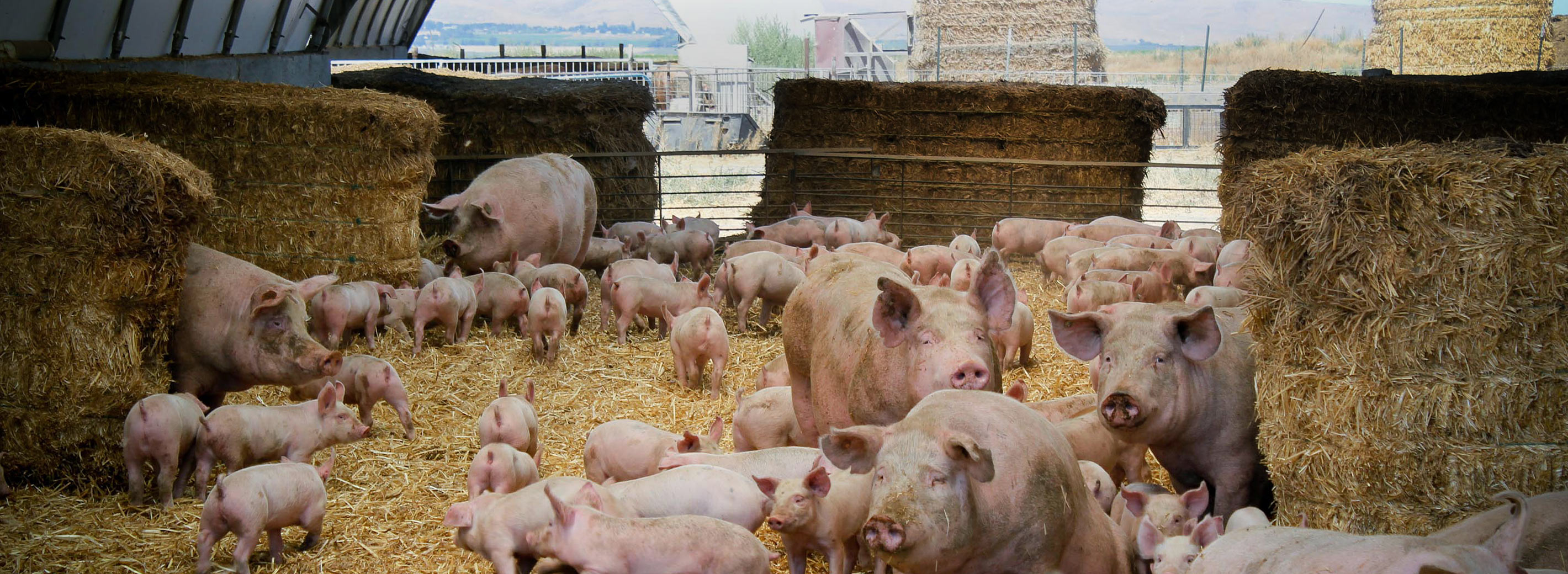 Phasing Out Gestation Crates for Pork and Battery Cages for Hens