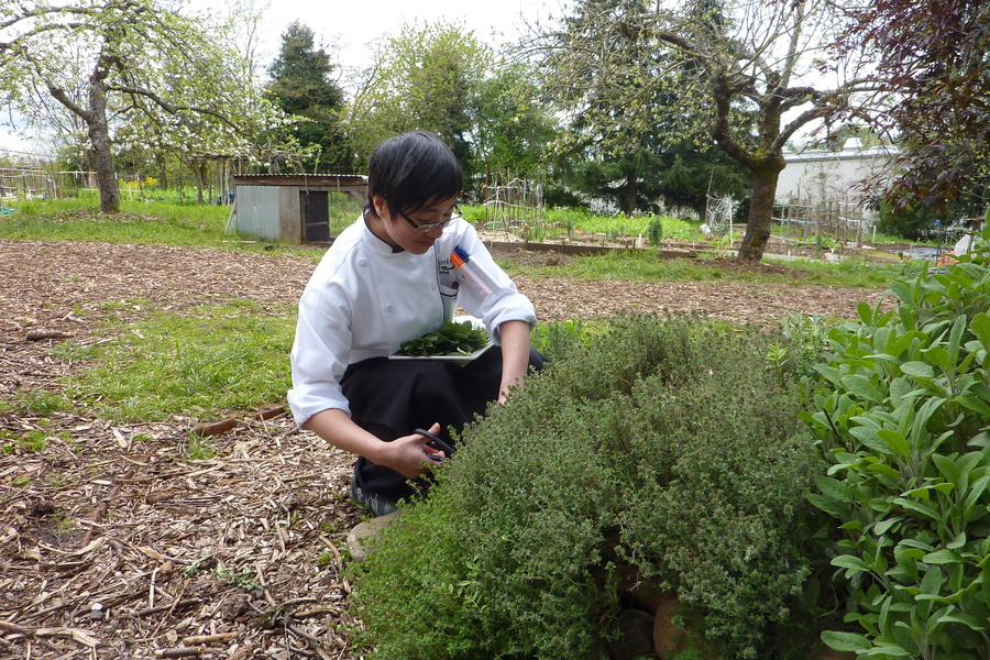 Executive Chef Jenny Nguyen snips herbs for a farm fresh dinner at local supplier Zenger Farm.
