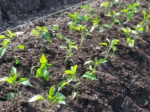 Pepper plants in the Kohl's Garden