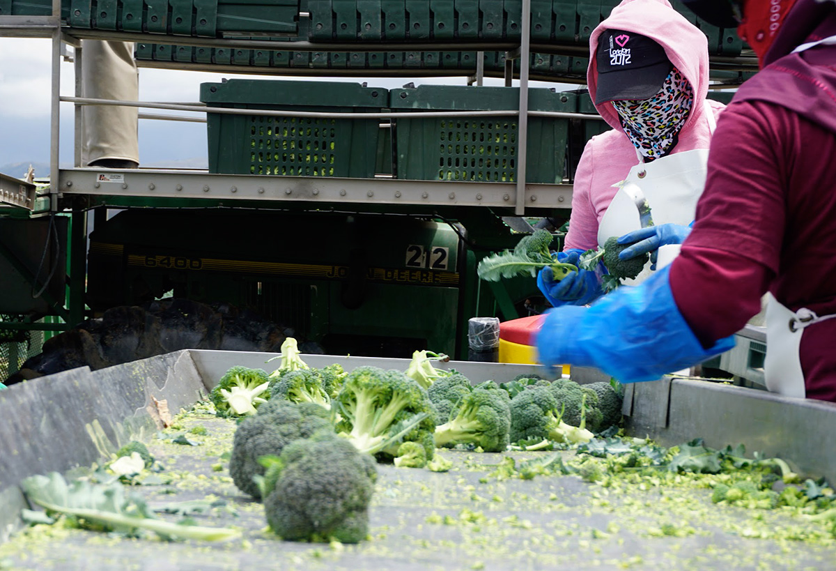 Farmworkers trim perfectly edible leaves from broccoli routinely as part of processing -- we're rescuing them them through our Imperfectly Delicious Produce program. Photo by Claire Cummings/BAMCO
