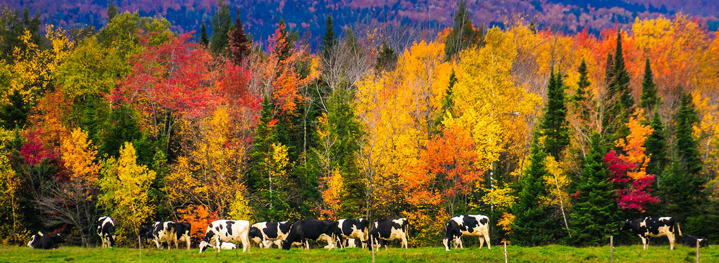 Dairy cows in New England landscape