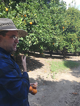 Old Grove Orange owner Bob Knight talks about his Gold Nugget mandarins