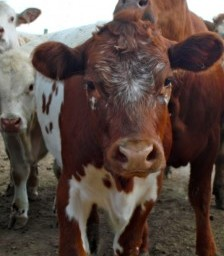 Are Our Cows Killing Us? More Reasons to Think of Meat as an Occasional Treat