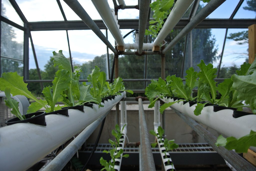 Their self designed and built hydroponic  system grows 75 heads of lettuce at a time, which are sold to their Bon Appetit chefs.